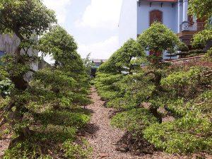 Chăm sóc cắt tỉa cây xanh ở Hà Tĩnh